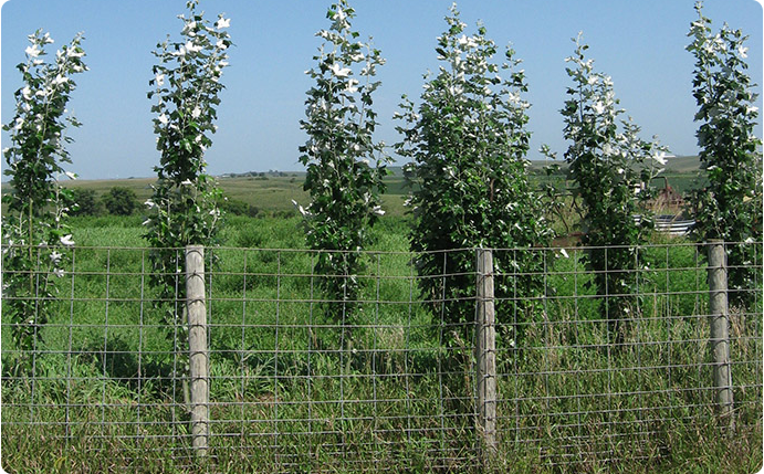 Hybrid Poplar Windbreak Tree